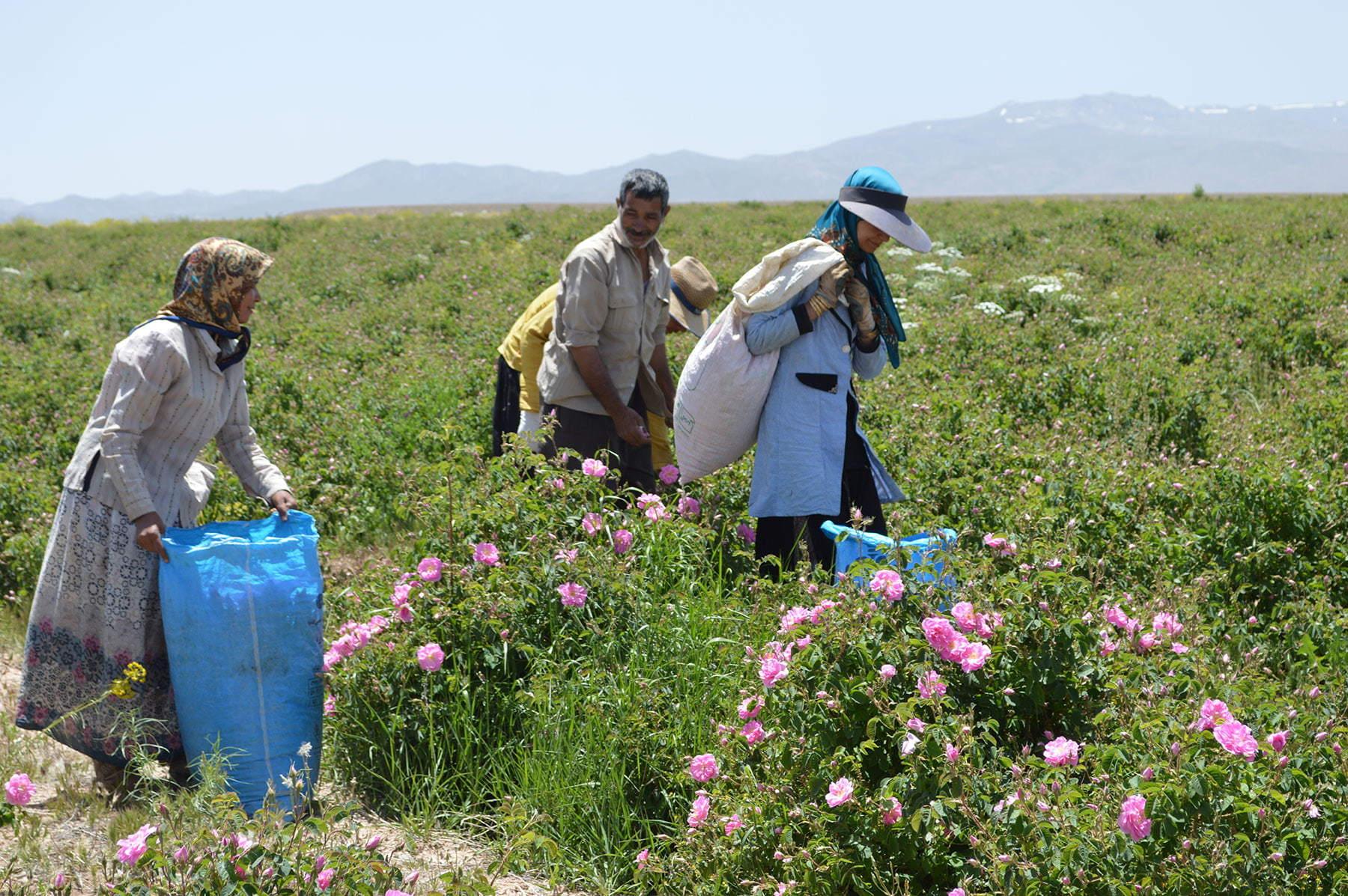 Luomuruusuja, ei oopiumia - Farfallan reilun kaupan projekti Iranissa