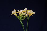 Freesia tuoksuöljy - Keväinen freesia - eteerinenöljy aromi