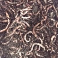 Dendrobena mato pieni, noin 1kg.