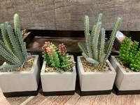 Cactus, laj-4
