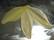Lucitehelmi Terälehti matta keltainen 12 x 40 mm