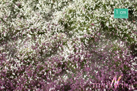 Blossom Tufts (Early Fall) varhainen syksy 1/45