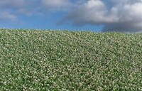 Blooming Poppy Field
