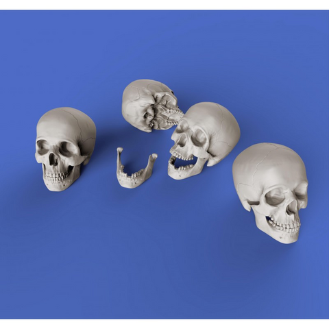Human Skulls  1/35