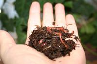 Matokompostimadot 100 kpl ja matokompostia, sisältäen toimituksen