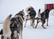 Non-stop dogwear Nansen Stick Harness