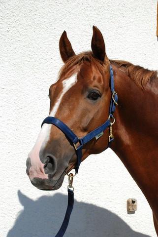 Bucas Dublin -riimu, navy, pony & x-full
