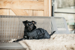 Kentucky Dog Coat, black