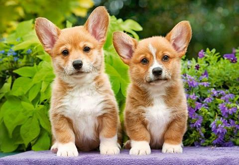 Castorland Welsh Corgi Puppies palapeli 1000 palaa