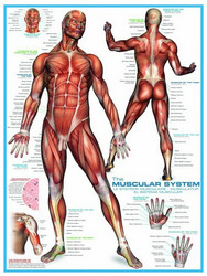 Eurographics Muscular system palapeli
