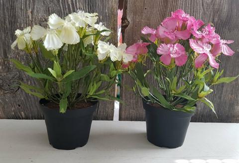Silkflower in pot