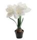 Amaryllis in a pot on white