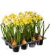 Narcissuspot