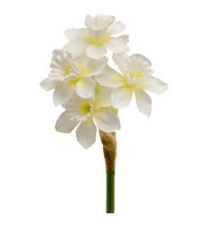 Narcissus branch white