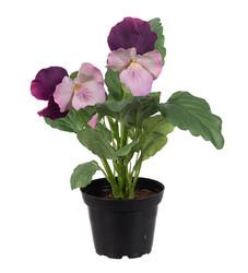 Pansy pink/violet