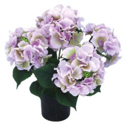 Hydragea light violet