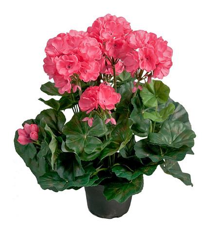 Pelargon Pink
