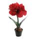 Amaryllis red at pot