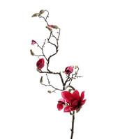 Magnolia 135cm