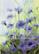 Kukkakortti ruiskukat