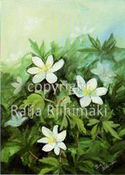 Kukkakortti valkovuokot