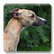 Whippet brindle