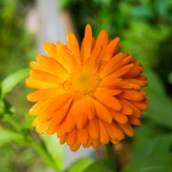 Kehäkukka, kotimainen värikasvirouhe 25g