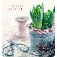 Hyacinth in a tin can