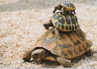 Free-rider turtles