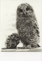 Little and large owl