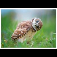 The owl peeks