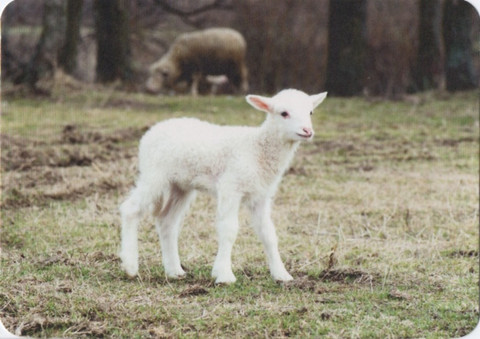 White lamb standing on a meadow