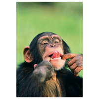 Chimp shows the tongue