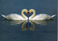 Hearty swans