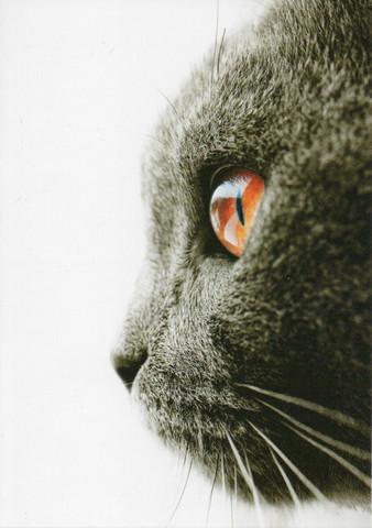 Kissan lähikuva