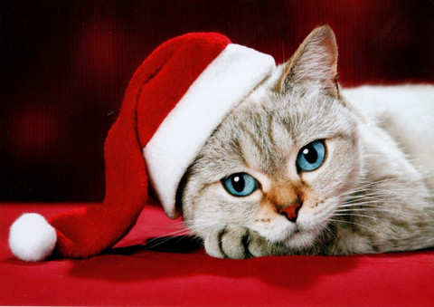 Christmassy cat #1