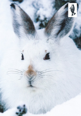 White rabbit in snow