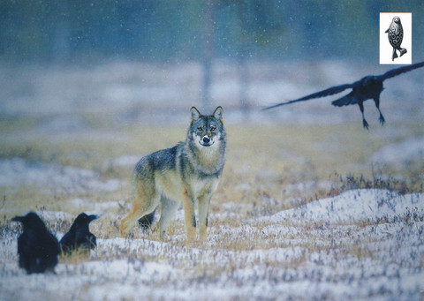 Wolf and birds
