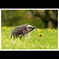 Hedgehog and dandelion