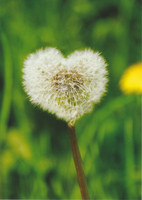 Heart-shaped dandelion