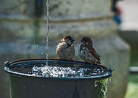 House sparrows bath time