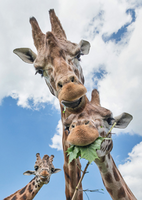 Giraffe threesome