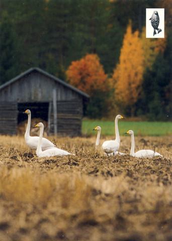 Swans on a field