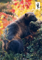 Wolverine in the autumn forest