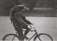 Mies pyöräilee koirien kanssa