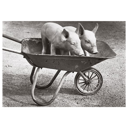 Pigs in a wheelbarrow