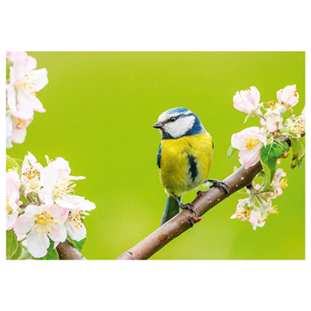 Blue tit and blooming tree