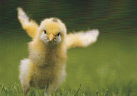 Small chicken chick