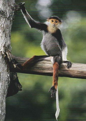 Herttua-apina istuu puussa