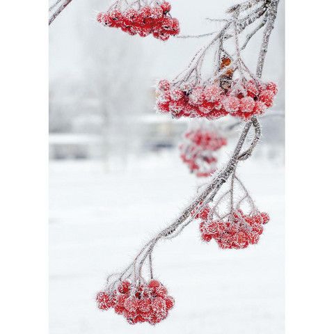 Icy rowanberries